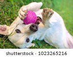 Stock photo white dog playing with ball in the grass 1023265216
