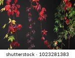 colorful autumn tree vines... | Shutterstock . vector #1023281383