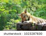 bengal tiger  endangered fierce ...   Shutterstock . vector #1023287830