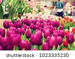a bouquet of pink tulips. a lot ... | Shutterstock . vector #1023335230