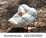 Grooming Kholmogory Goose  Rar...