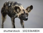 Small photo of Portrait of free roaming african wild dog Lycaon