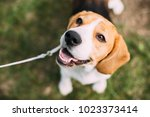 beautiful tricolor puppy of... | Shutterstock . vector #1023373414