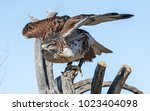avian raptors in tucson arizona   Shutterstock . vector #1023404098