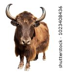 Small photo of brown yak in Latin Bos mutus isolated on white background, Yak is farm animal in Nepal and Tibet