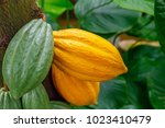 The Cocoa Tree   Theobroma...