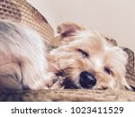 a cute little dog  yorkshire... | Shutterstock . vector #1023411529