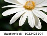 White Flower Petal Petals Dais...