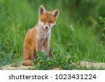 red fox cub | Shutterstock . vector #1023431224