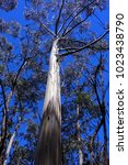 Small photo of Australian Eucalyptus Tree