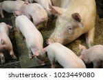view of a fertile sow lying on... | Shutterstock . vector #1023449080