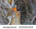 winter robin with fluffy plumage   Shutterstock . vector #1023451654