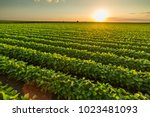 green ripening soybean field ... | Shutterstock . vector #1023481093
