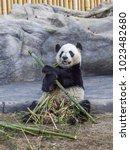 Small photo of TORONTO, CANADA - MARCH 12, 2016: Giant panda Da Mao eating bamboo in Toronto Zoo, Canada. Giant pandas will be leaving Toronto for Calgary on March, 2018.