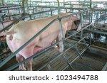 the pigs in the farm. swine in... | Shutterstock . vector #1023494788