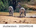 Zebras Drinking From A Waterin...