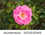 beautiful pink rose in a garden | Shutterstock . vector #1023510343