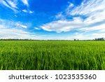 Beautiful Green Cornfield With...