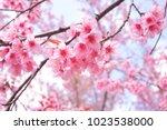 wild himalayan cherry blossoms... | Shutterstock . vector #1023538000