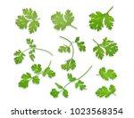 green coriandrum sativum leaves ... | Shutterstock . vector #1023568354