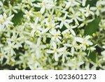 "blooming clematis ""paniculata""... | Shutterstock . vector #1023601273"