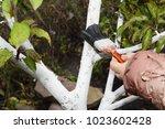 Gardener Whitewashing Fruit...