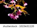 cherry blossom flowers in bloom ...   Shutterstock . vector #1023631120