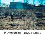 vietnamese pigs. marble breed | Shutterstock . vector #1023643888