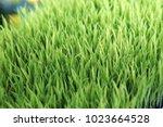 Grass Sapling Grass Seeding...
