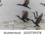 a bird in the family anatidae... | Shutterstock . vector #1023739378