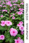 madagascar periwinkle rose... | Shutterstock . vector #1023750220