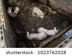 natural pig farming or pork... | Shutterstock . vector #1023762028