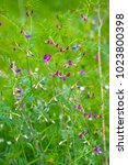 Small photo of Common vetch (Vicia sativa) - a fairy-like plant that likes damp and boggy ground - seen here in Combe Valley, near Bexhill in East Sussex, England.