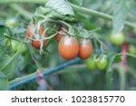 Purple Tomatoes On The Tree.