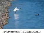 little egret  egretta garzetta  ...   Shutterstock . vector #1023830260