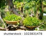 melientha suavis pierre wild... | Shutterstock . vector #1023831478