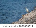 little egret  egretta garzetta  ...   Shutterstock . vector #1023833014