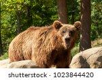 Kamchatka brown bear at...