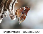 The Autumn Leaf Butterfly ...