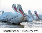 dalmatian pelican  pelecanus...   Shutterstock . vector #1023892594