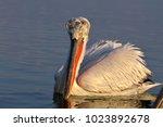 dalmatian pelican  pelecanus...   Shutterstock . vector #1023892678
