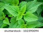 Green Stinging Nettle In Garden