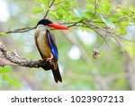 black capped kingfisher is a... | Shutterstock . vector #1023907213