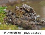 Comman Toad  Bufo Bufo