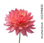 Isolated Pink Flower On White...