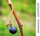 close up of a bunch of grapes... | Shutterstock . vector #1023995134