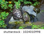 Family Of Turtles In Pond....