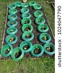 Small photo of Young kohlrabi plant with slug protection in vegatable garden