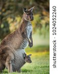 a western grey kangaroo with...   Shutterstock . vector #1024052260