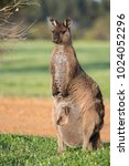 a western grey kangaroo with... | Shutterstock . vector #1024052296
